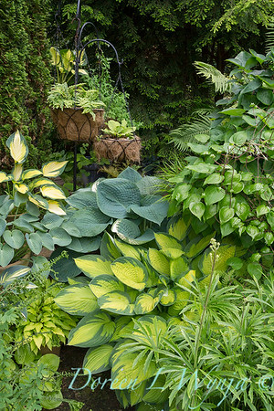 Hosta Collection_0161AMG