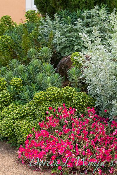 Helianthemum nummularium Belgravia Rose - Euphorbia characias - Artemisia absinthium_7908