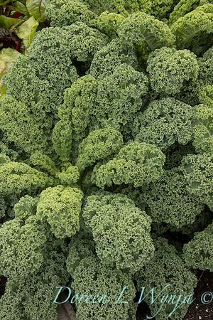 Brassica oleracea 'Westland Winter'_6234