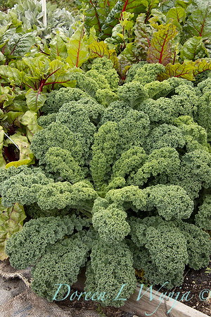 Brassica oleracea 'Westland Winter'_6232