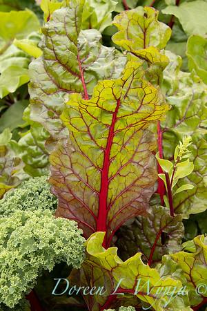 Beta vulgaris subsp  cicla var  flavescens_6495