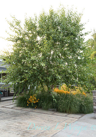 Betula nigra 'Cully' - Rudbeckia fulgida var  sullivantii 'Goldsturm' - Pennisetum alopecuroides 'Hameln' -hardscaping_0569