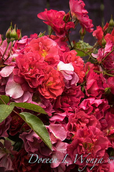 Rosa floribunda 'WEKcobeju' Cinco de Mayo_4070M