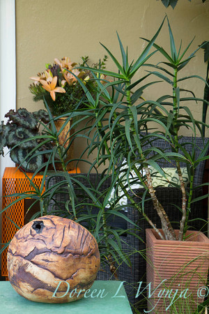 Aloe striatula_2066
