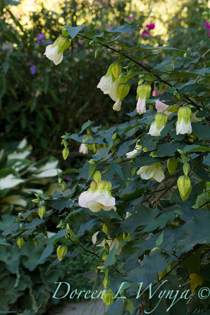 Abutilon 'Searchlight'_2110