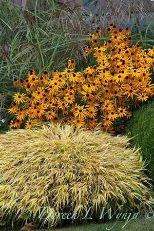 Hakonechloa macra All Gold-Rudbeckia Goldsturm_9945