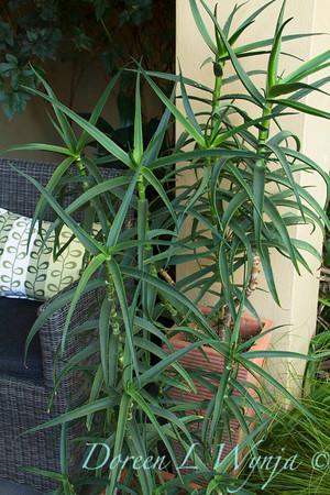 Aloe striatula_2068