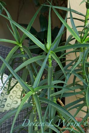 Aloe striatula_2070