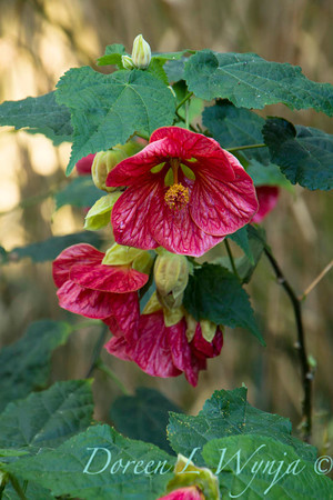 Abutilon 'Linda Vista Rose'_2065
