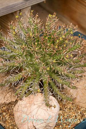 Euphorbia_5261