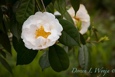 Camellia reticulata white_1182 (1)