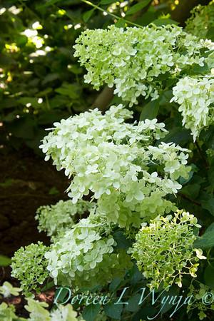 Hydrangea paniculata Limelight_028