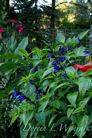 Salvia guaranitica Black and Blue_021