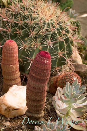 Echinocereus pectinatus_1016