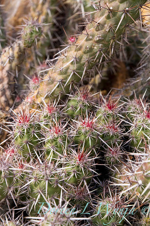 Echinocereus brandegeei_5071