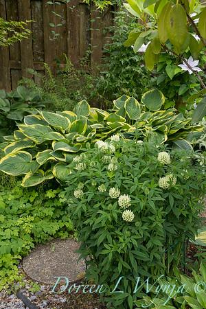 Trifolium ochroleucum_3928