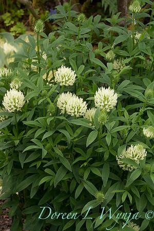 Trifolium ochroleucum_3925