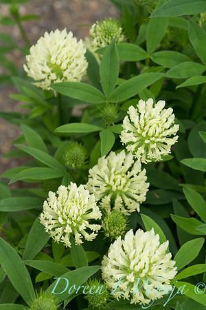 Trifolium ochroleucum_3931