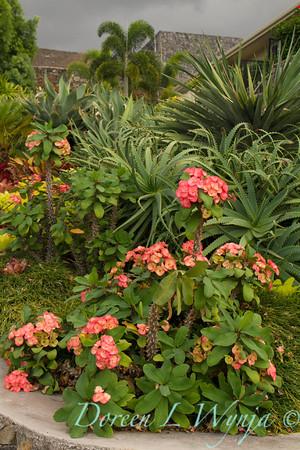 Euphorbia milii_058