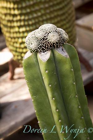 Mammillaria luethyi grafted_5174