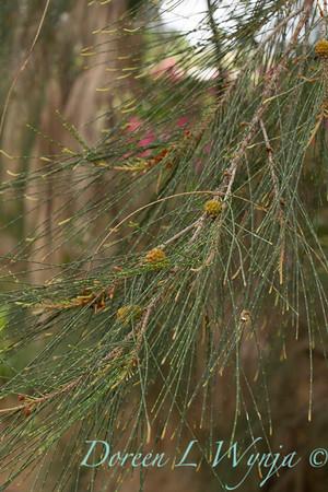 Casuarina equisetifolia_075