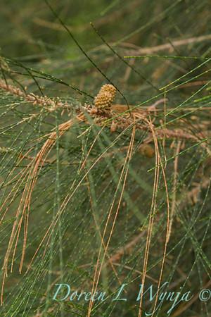 Casuarina equisetifolia_081