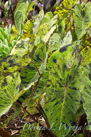 Colocasia esculenta 'Mojito'_9671
