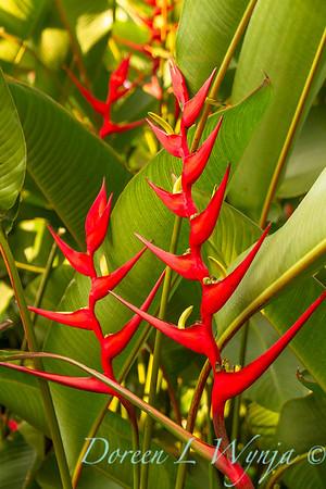 Heliconia farinosa 'Rio'_9574
