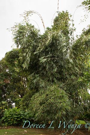 Phyllostachys nigra 'Black Bamboo' large_9607