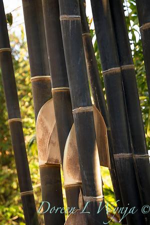 Phyllostachys nigra 'Black Bamboo' large_9600