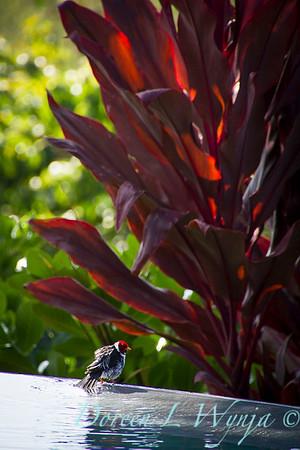 Paroaria capitata - yellow billed cardinal bathing_9067
