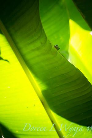 Heliconia caribaea leaf - Gecko_3565