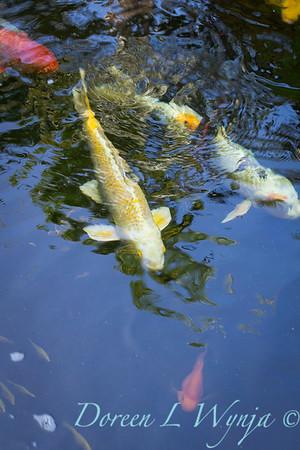 Koi fish_3580