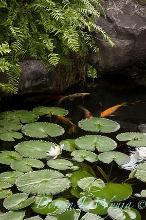 Lotus - Koi pond_3575