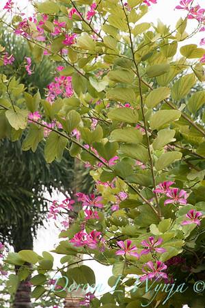 Bauhinia variegata - Orchid Tree_3511