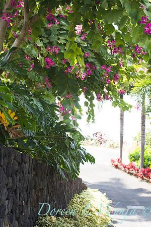 Bauhinia variegata - Orchid Tree_3504