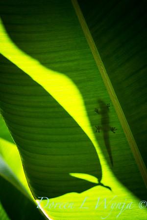 Heliconia caribaea leaf - Gecko_3560