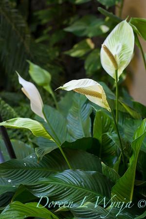 Spathiphyllum_3577