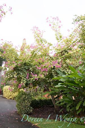 Bauhinia variegata - Orchid Tree_3502