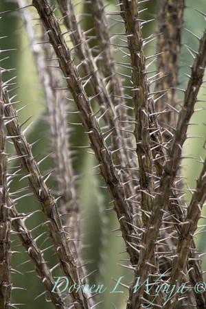 Fouquieria splendens_7691