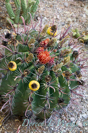 Ferocactus townsendianus_7558