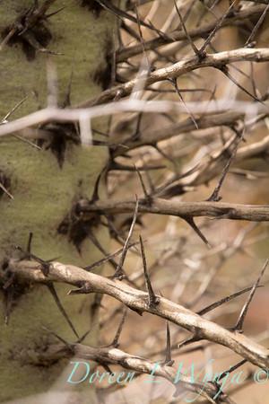 Fouquieria columnaris thorns_7542