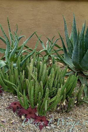 Stapelia grandiflora_5002