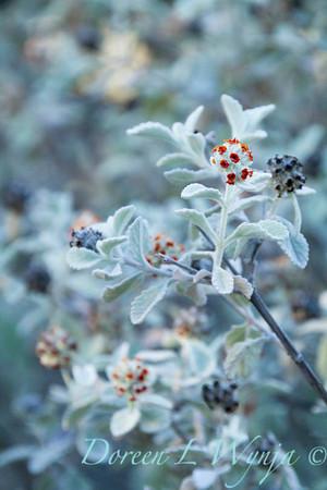 Buddleia marrubifolia_5503