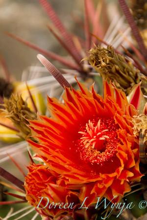 Ferocactus townsendianus_7546