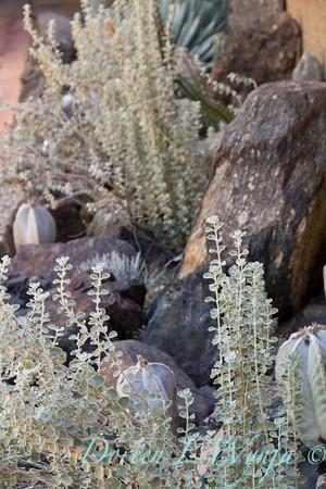 Leucophyllum zygophyllum Blue Ranger_5471