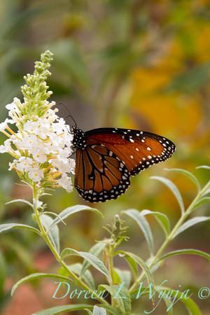 Butterfly_7680