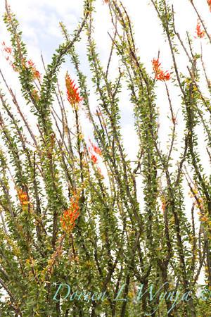 Fouquieria splendens_5755