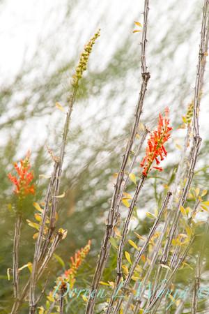 Fouquieria splendens_5748