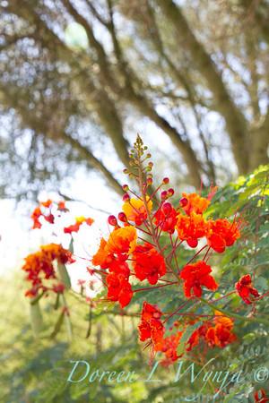 Caesalpinia pulcherrima_5723